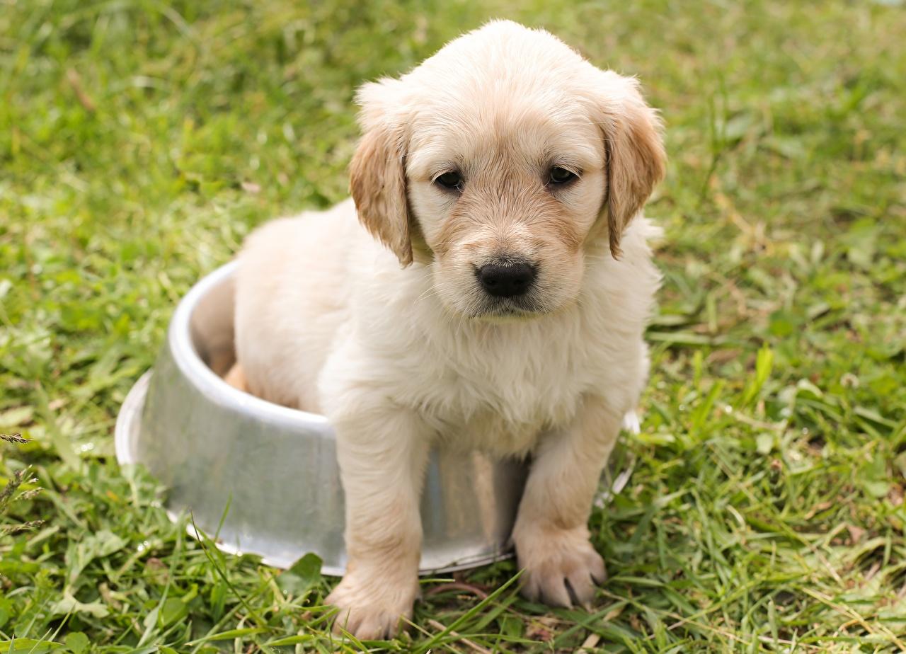 Foto Welpe Golden Retriever hund Traurig Schüssel sitzen ein Tier welpen Hunde Trübsal traurige trauriger trauriges Traurigkeit sitzt Sitzend Tiere