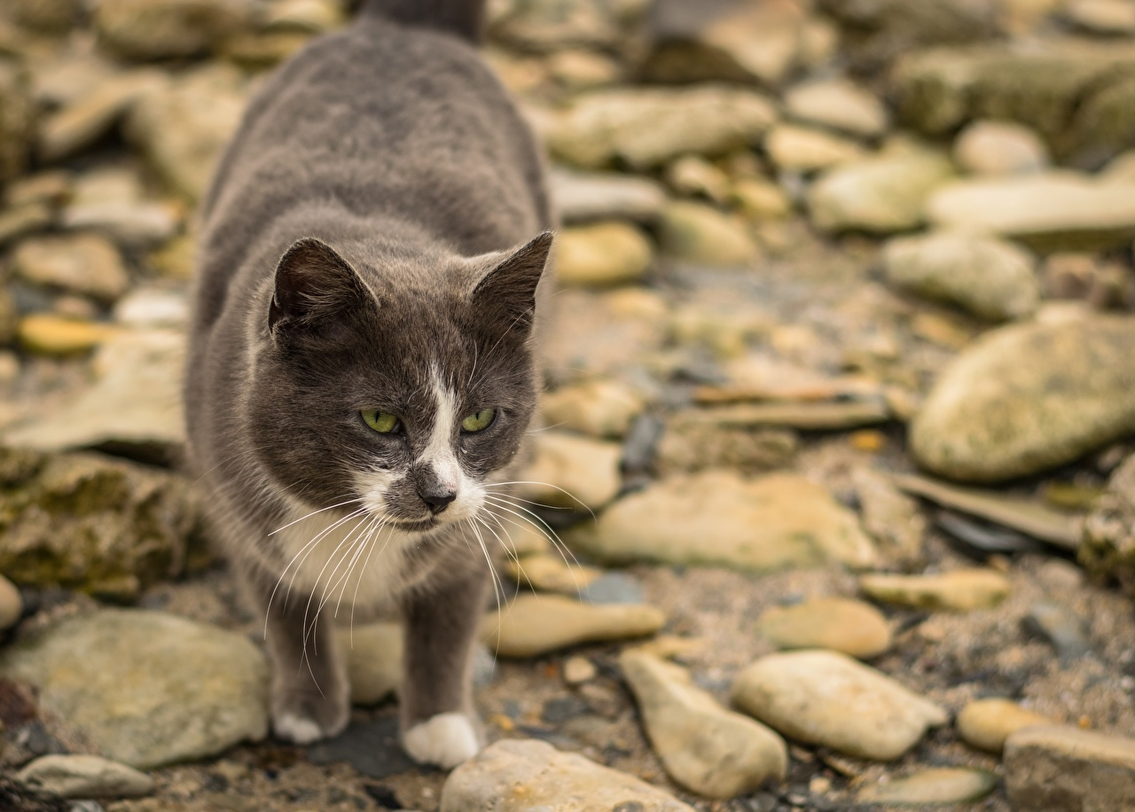 Photos Cats Bokeh stone animal Staring cat blurred background Stones Glance Animals