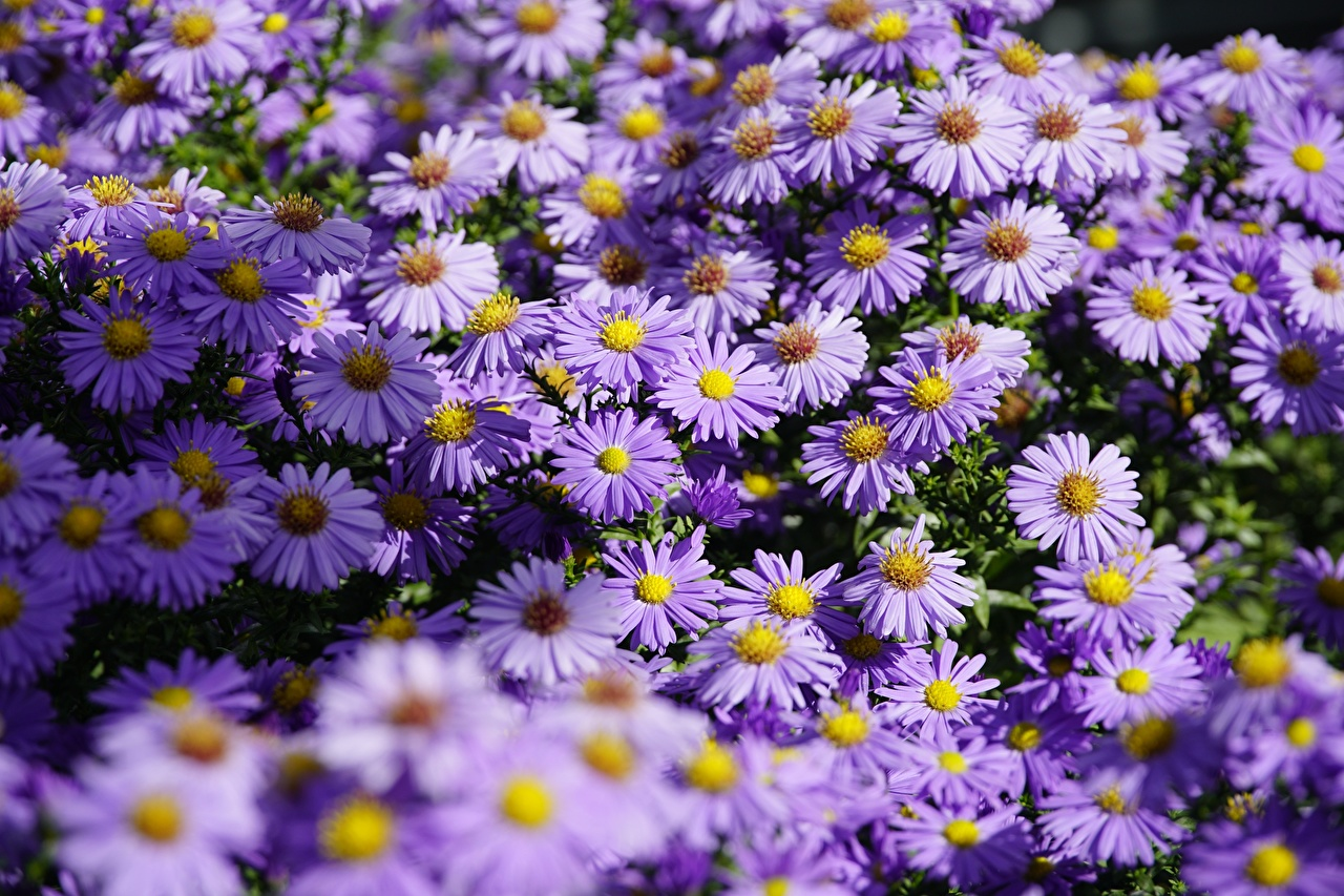 Images Shrub Aster Violet Asters Flowers Many flower