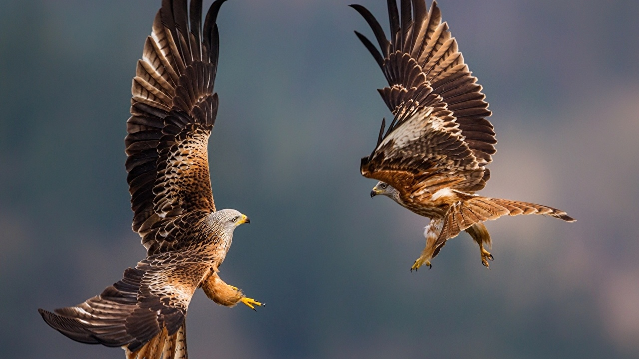 Images bird Eagles Wings Two Animals Birds eagle 2 animal