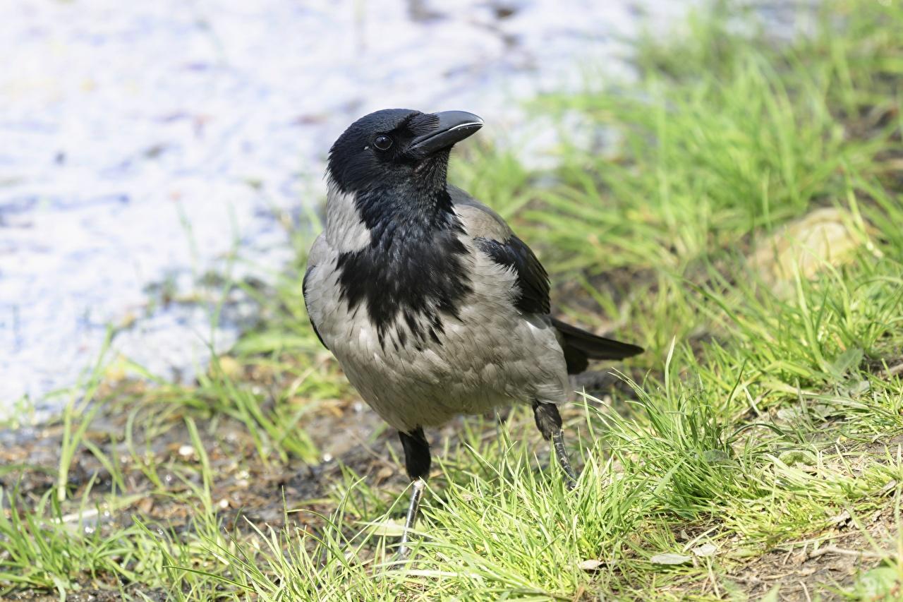 Fotos von Vögel Krähe Bokeh Gras Tiere Vogel Krähen Aaskrähe unscharfer Hintergrund ein Tier
