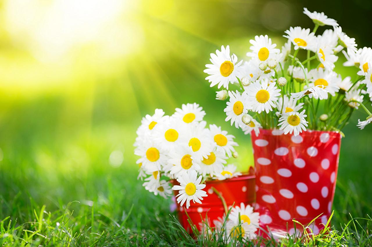 Photos Rays of light Flowers Camomiles