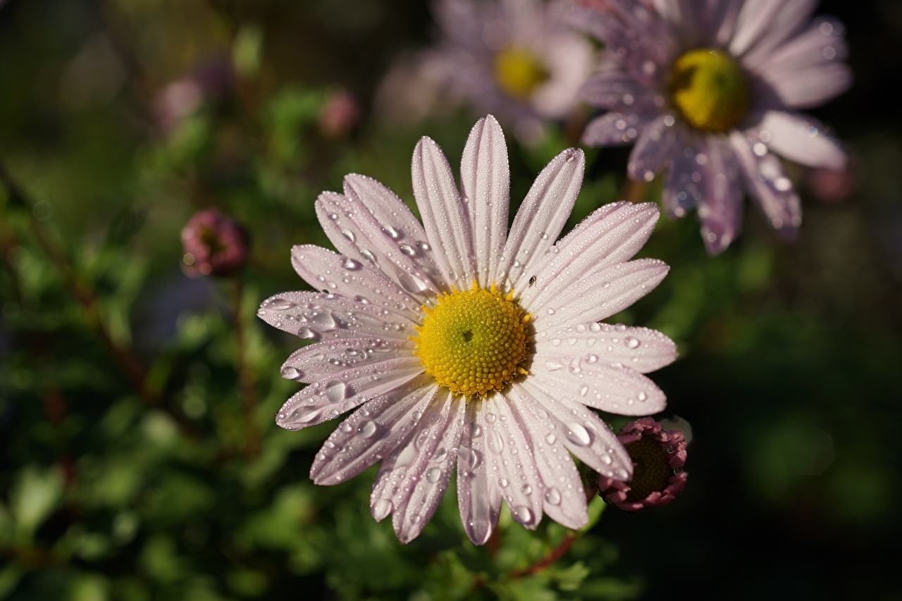 Images blurred background Drops flower matricaria Closeup Bokeh Flowers Camomiles