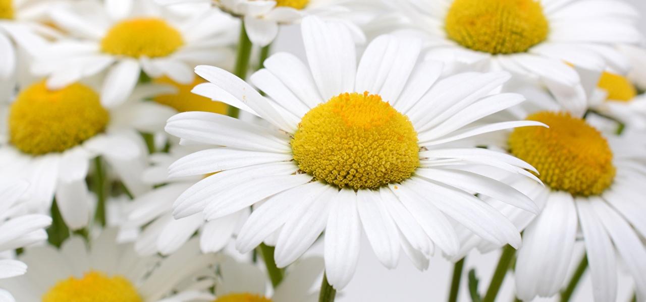 Image Flowers matricaria Closeup flower Camomiles