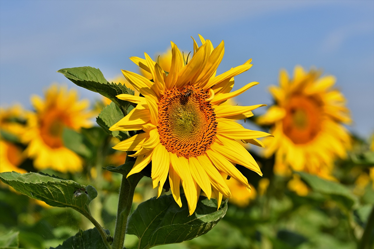 Wallpaper Bokeh Flowers Helianthus Closeup blurred background flower Sunflowers