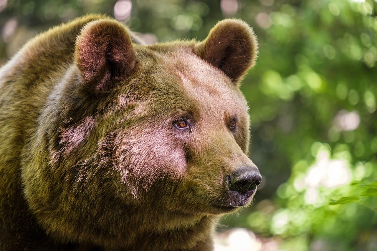 Bilder von Braunbär Bären Schnauze Tiere Starren Großansicht Blick