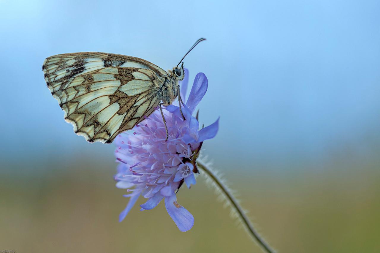 Bilder Insekten Schmetterling Marbled White Tiere Großansicht Schmetterlinge hautnah ein Tier Nahaufnahme