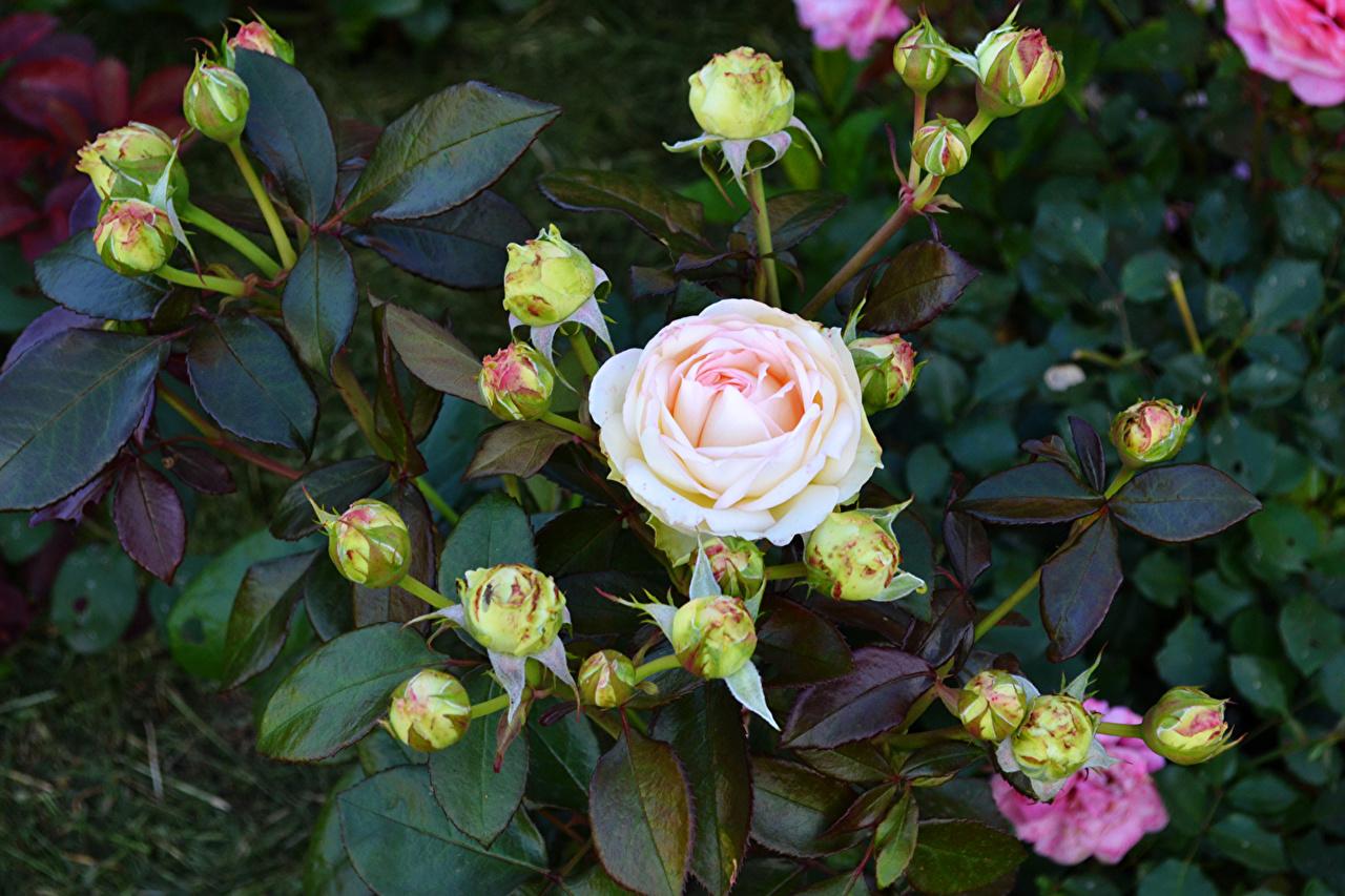 Roses Bourgeon fleur, rose Fleurs