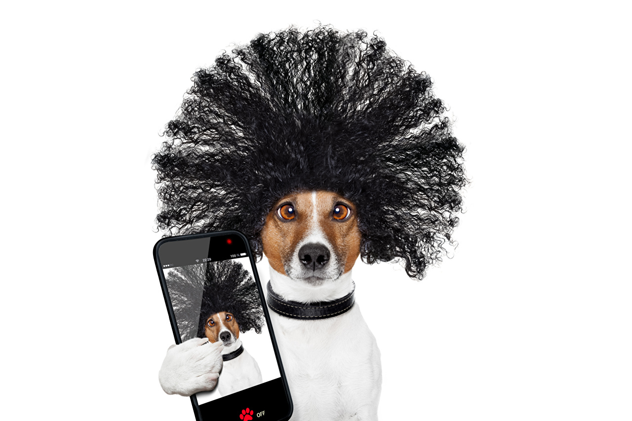 Photos Animals Jack Russell terrier dog Selfie Smartphone Funny Hair hairstyles White background animal Dogs smartphones hairdo haircut Hairstyle
