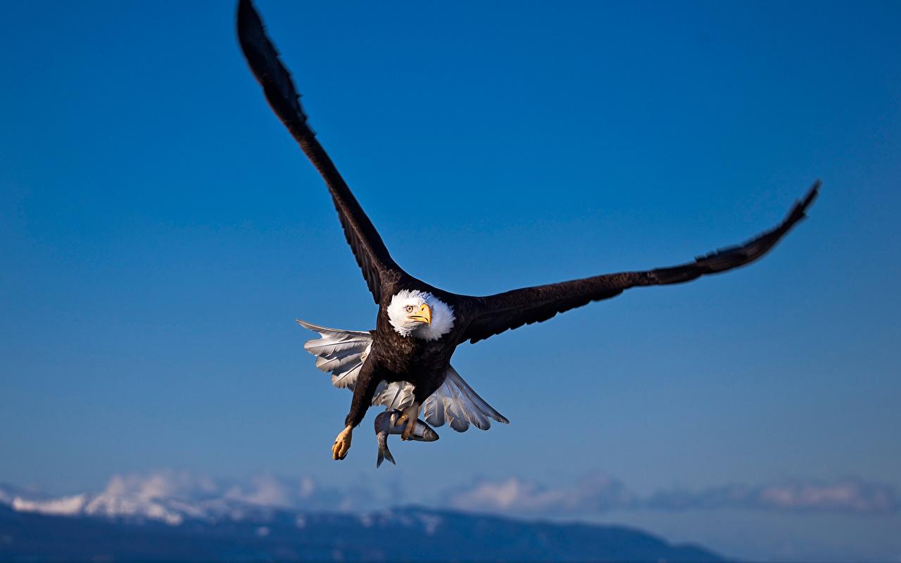 Desktop Wallpapers eagle Birds Animals bird Eagles animal