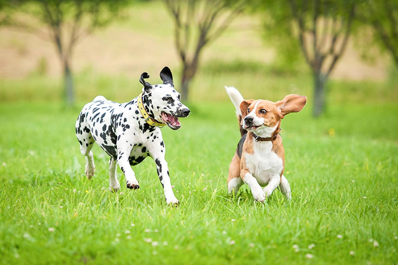 Picture Beagle Dalmatian Dogs Running Two Grass animal dog Run 2 Animals