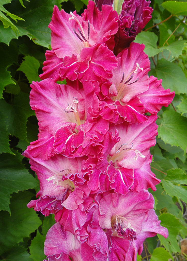 Photo Pink color flower Gladioluses Closeup  for Mobile phone Flowers gladiolus