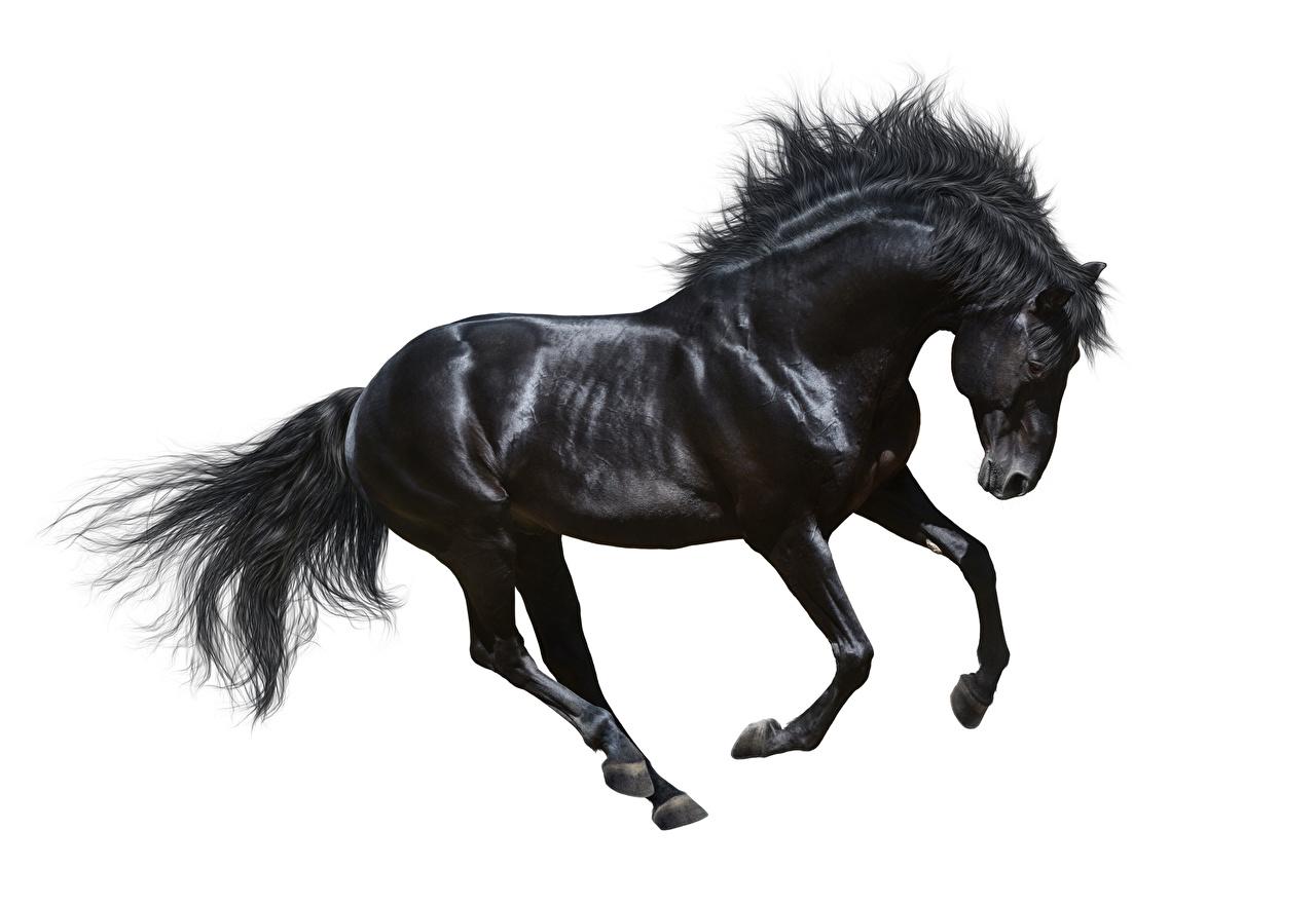 Fotos von Pferd Lauf Schwarz Tiere Weißer hintergrund Pferde Hauspferd Laufen Laufsport ein Tier