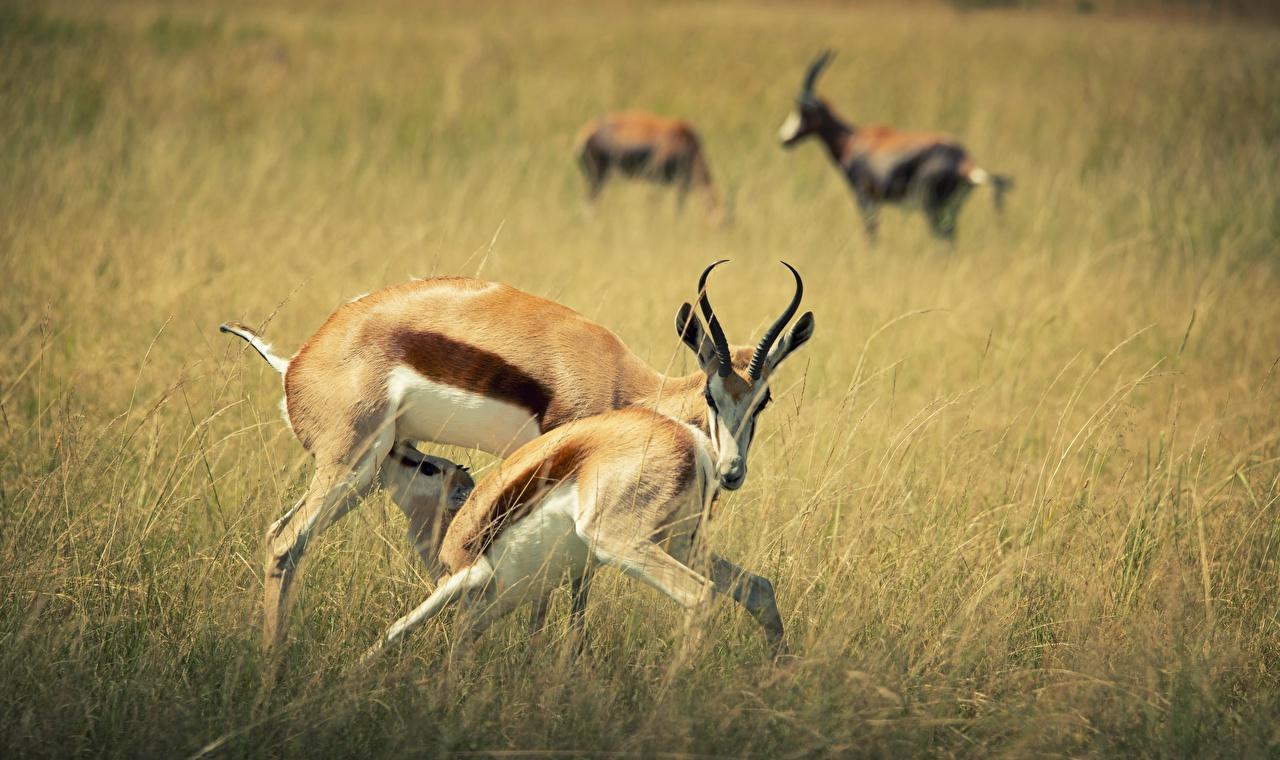 Pictures Horns blurred background Grass Artiodactyl animal Bokeh Animals