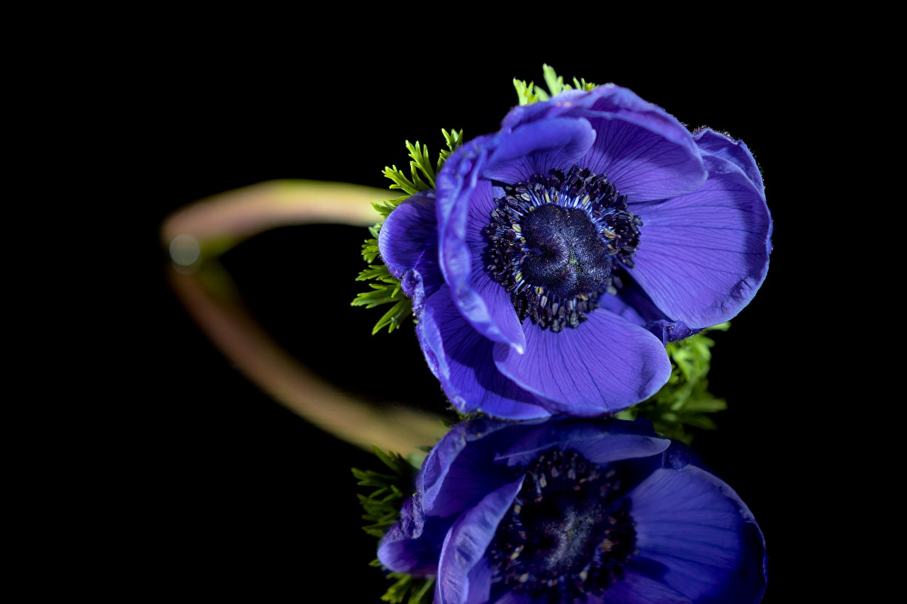 Image Blue Flowers reflected Anemones Closeup flower Reflection anemone