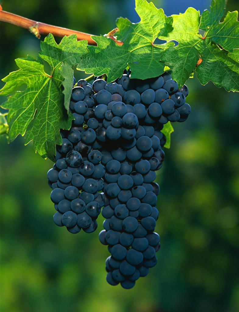Foto Blatt Blau Trauben Ast das Essen  für Handy Blattwerk Weintraube Lebensmittel