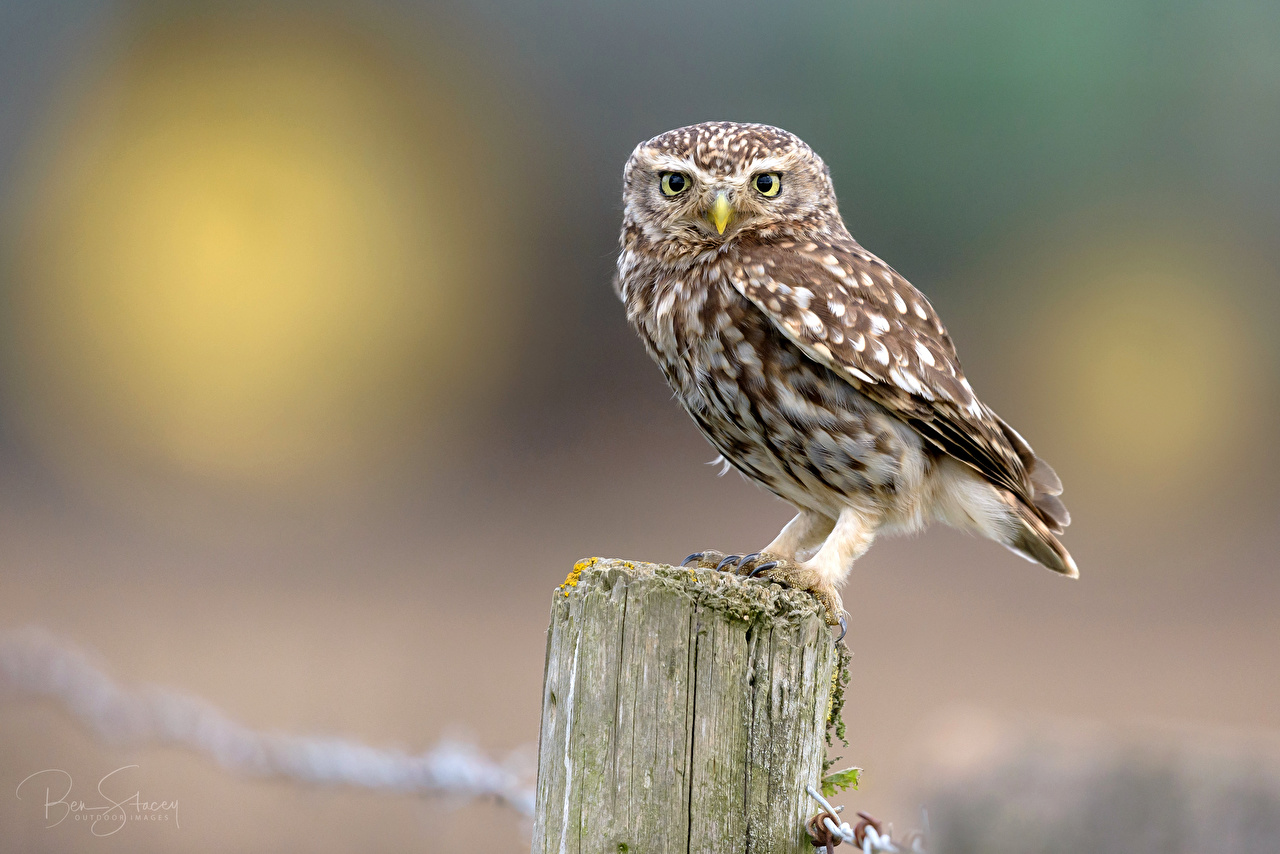 Pictures owl bird Bokeh Glance animal Owls Birds blurred background Staring Animals