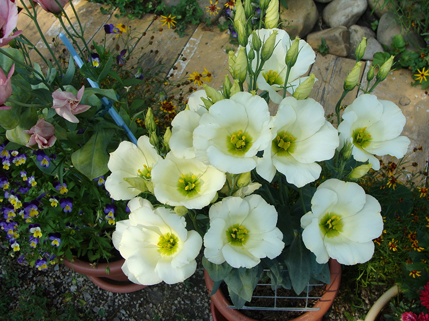 Photos White Flowers prairie gentian flower Eustoma lisianthus