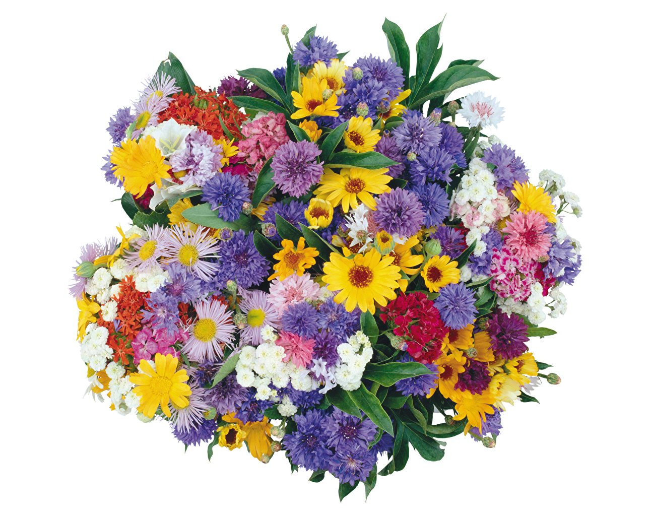 Bouquets Bleuet Bellis Fond blanc Centaurea Fleurs