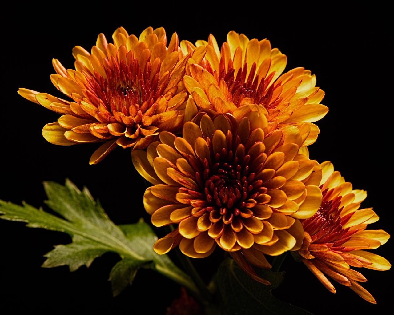 Wallpaper Orange flower Chrysanthemums Closeup Black background Mums Flowers Chrysanths