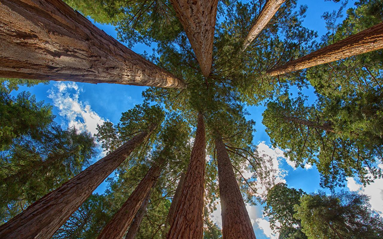 Wallpaper redwood sequoia Nature Sky Trees