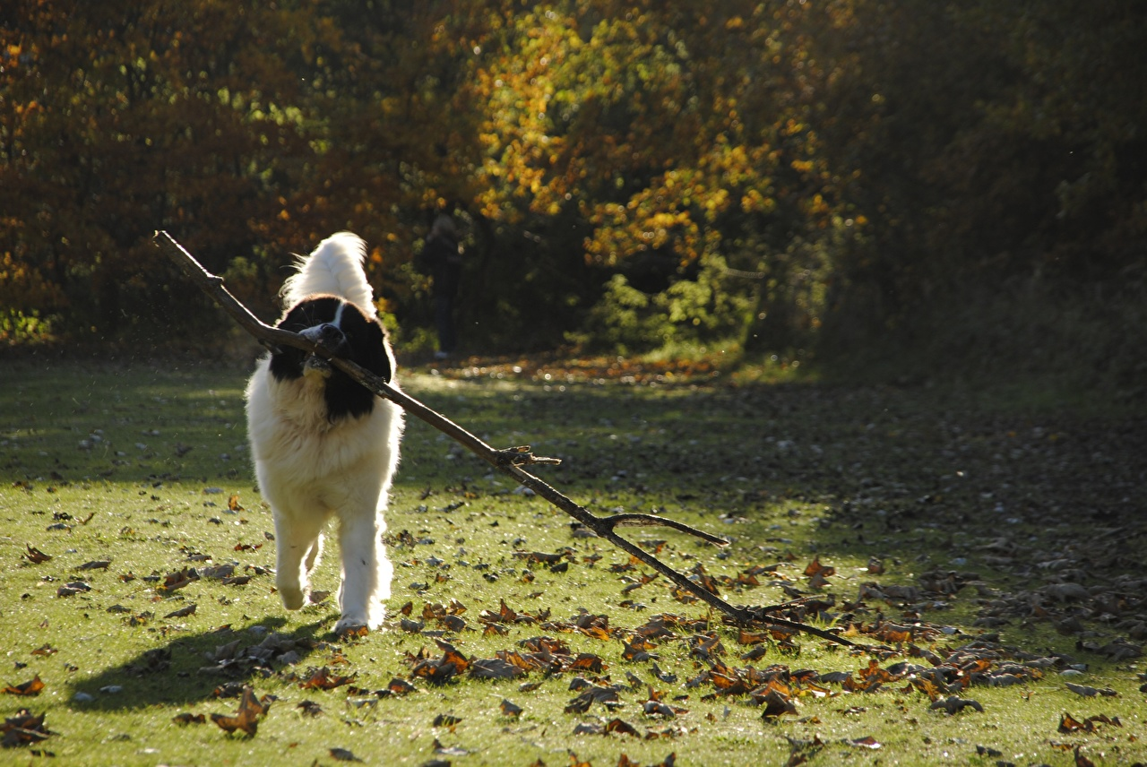 Wallpaper Dogs Leaf landseer Grass Branches Animals dog Foliage animal