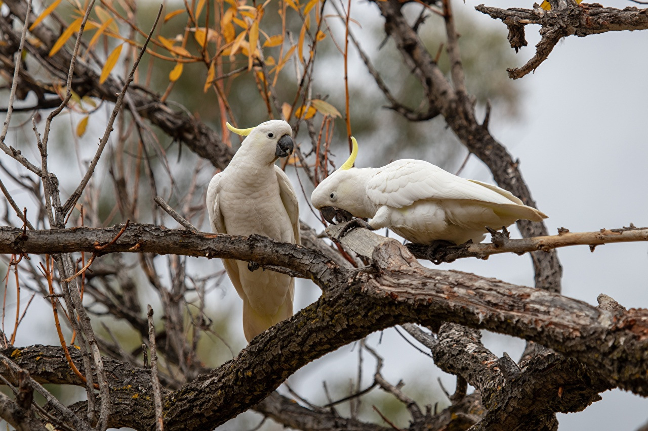 Photo Parrots Cockatoo Two Branches Animals parrot 2 animal