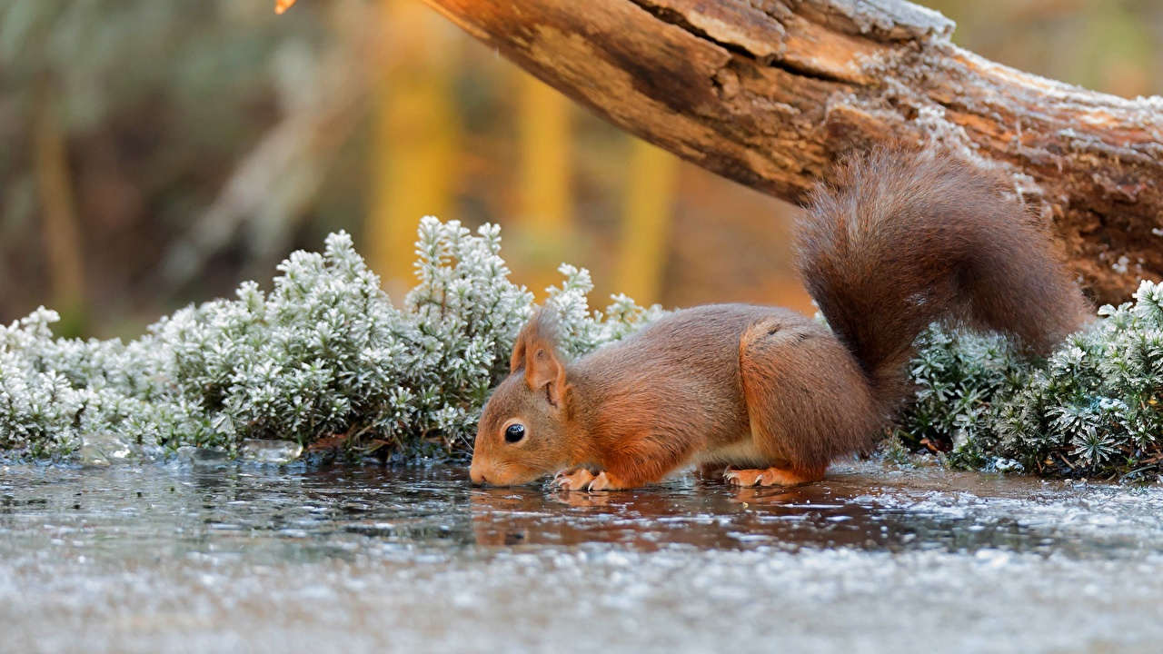 Picture Squirrels Drinking water Ice Animals animal