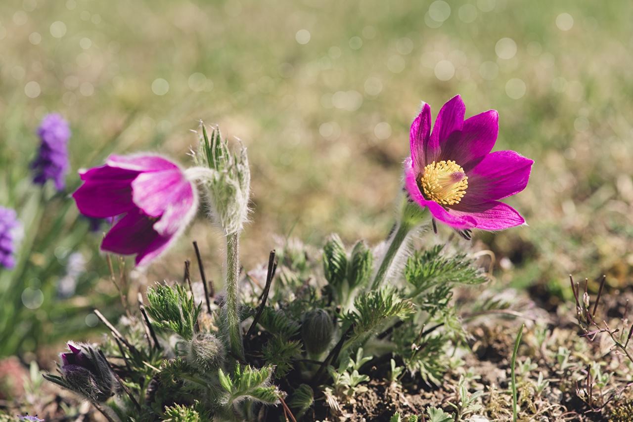 Fotos unscharfer Hintergrund Violett Blüte Kuhschellen Bokeh Blumen