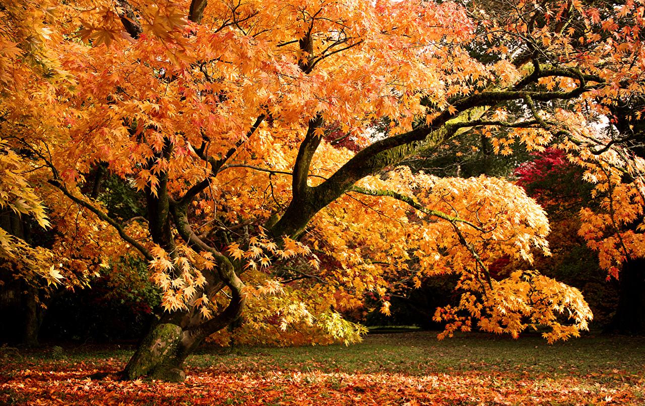 Bilder Blattwerk Vereinigtes Königreich Westonbirt Arboretum Natur Herbst Park Bäume Blatt