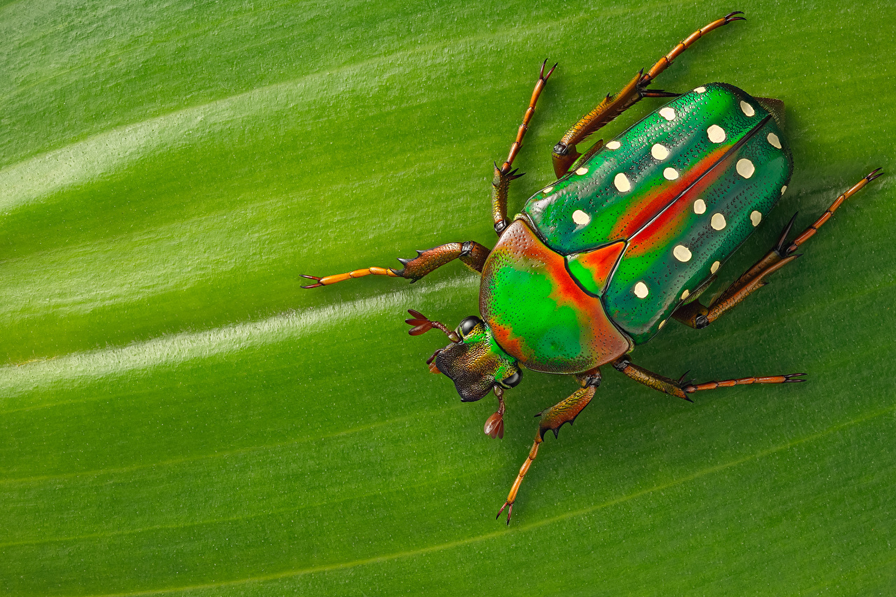 Pictures Bugs Insects stephanorrhina animal Closeup Animals