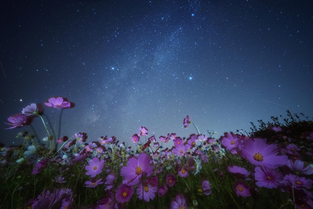 壁紙 コスモス 空 恒星 夜 花 ダウンロード 写真