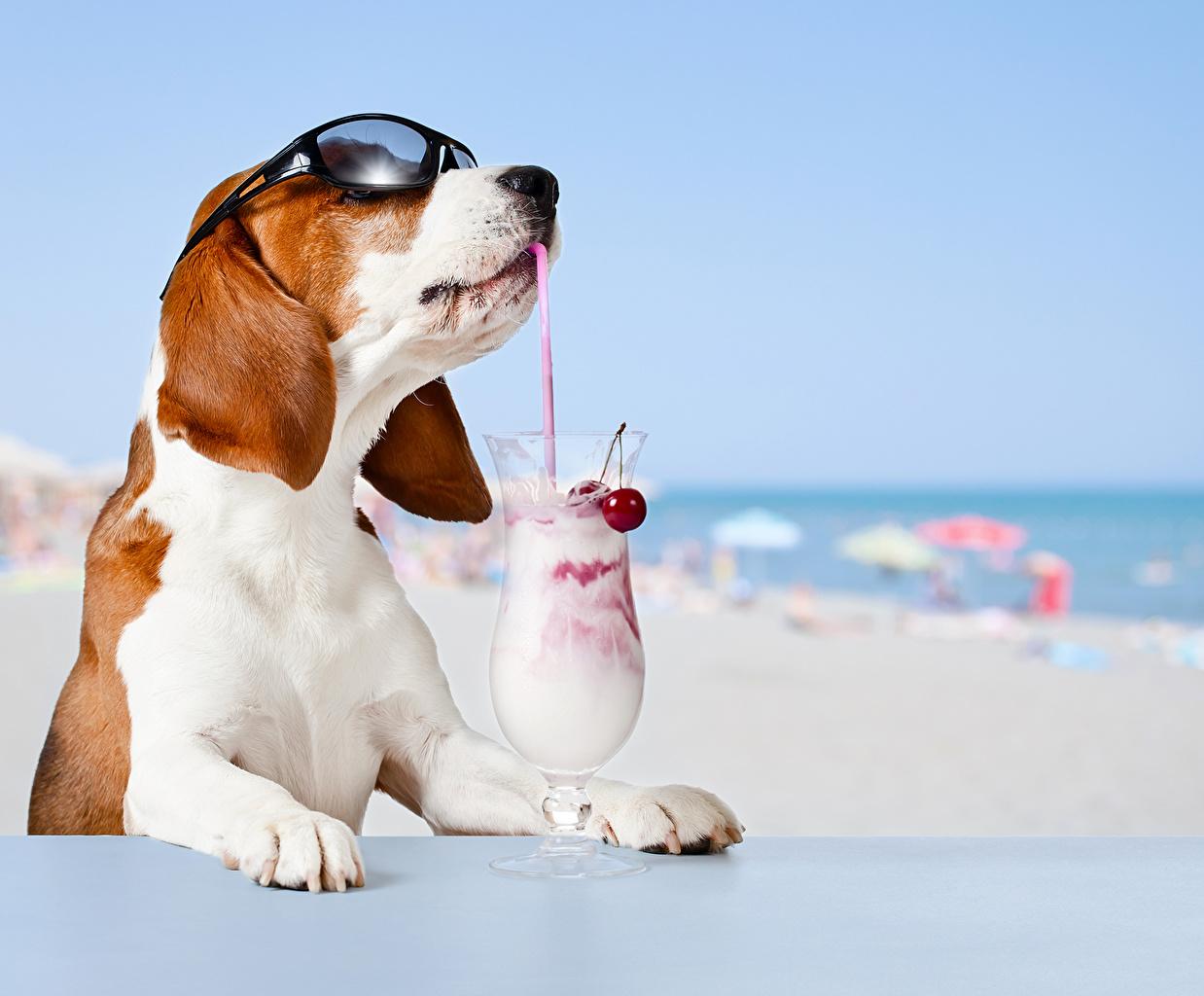 Wallpaper Beagle Dogs Cocktail eyeglasses Animals dog Glasses Mixed drink animal