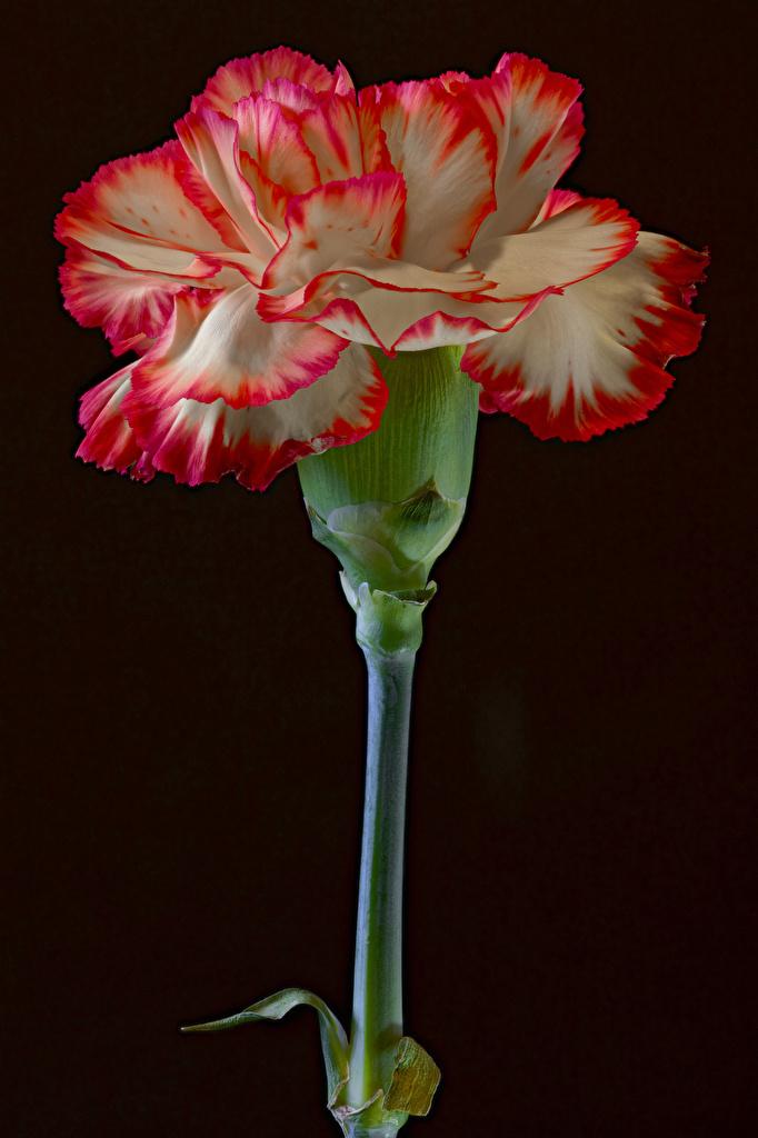 Dianthus De cerca Fondo negro flor Flores para móvil Teléfono