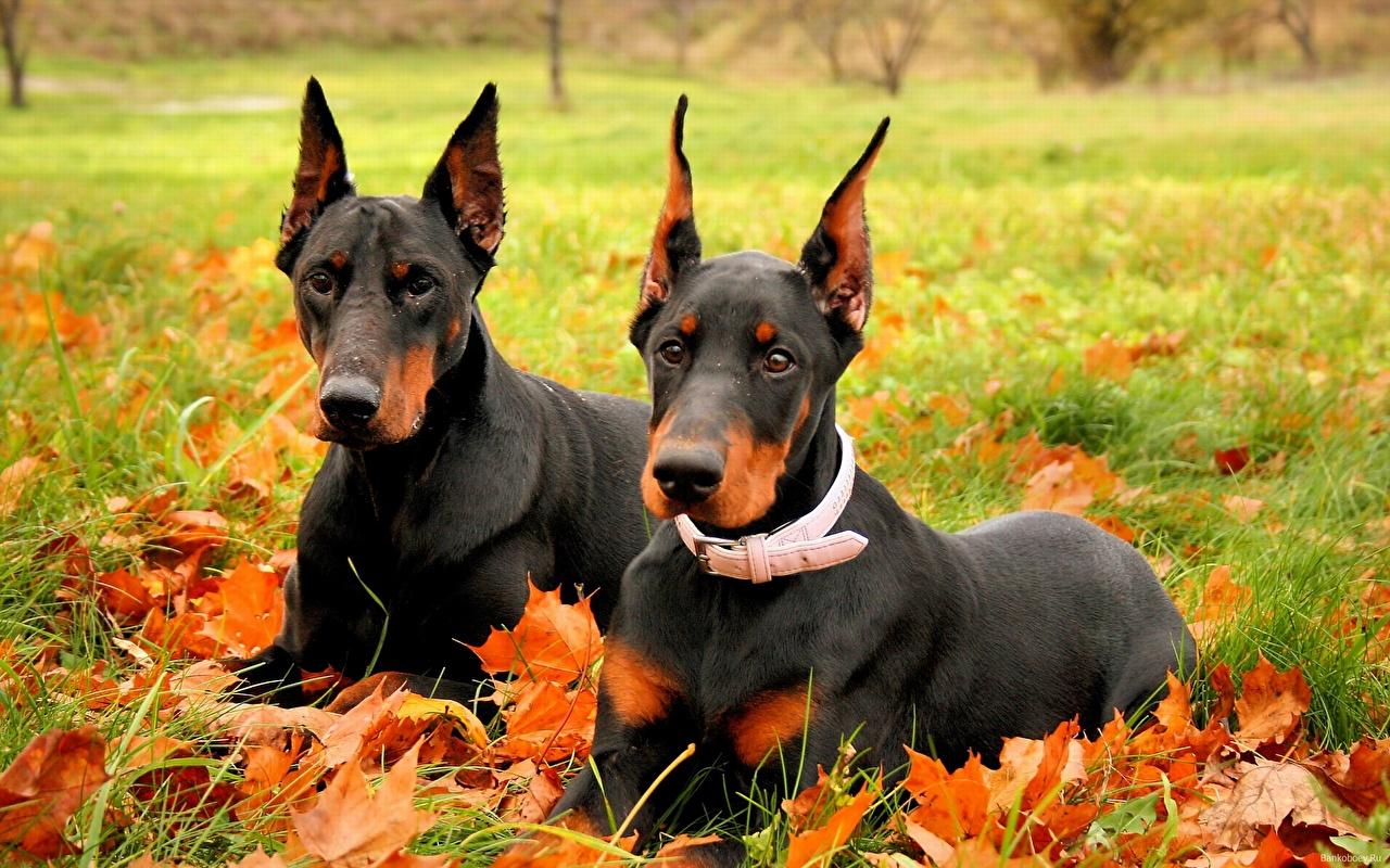 Foto Dobermann Hunde 2 Herbst Gras ein Tier