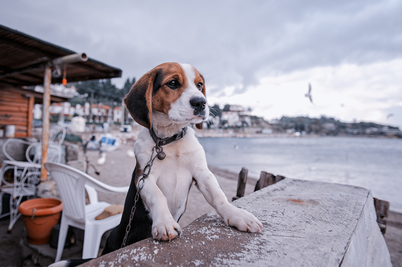 Desktop Wallpapers Beagle puppies dog Table animal Puppy Dogs Animals