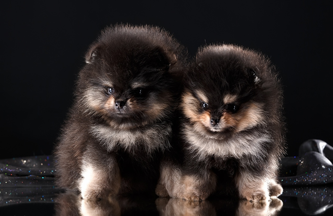 Pictures Spitz puppies Dogs Two Black Fluffy Animals Puppy dog 2 animal