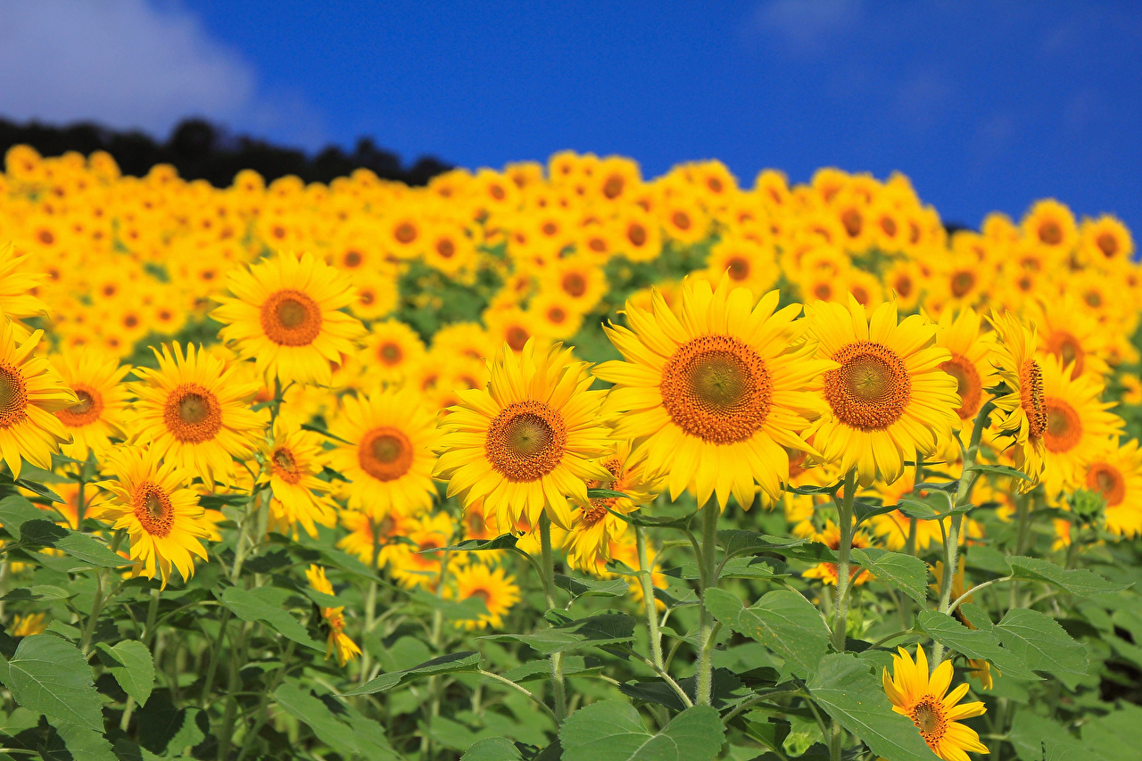 Image Flower Fields Sunflowers Many