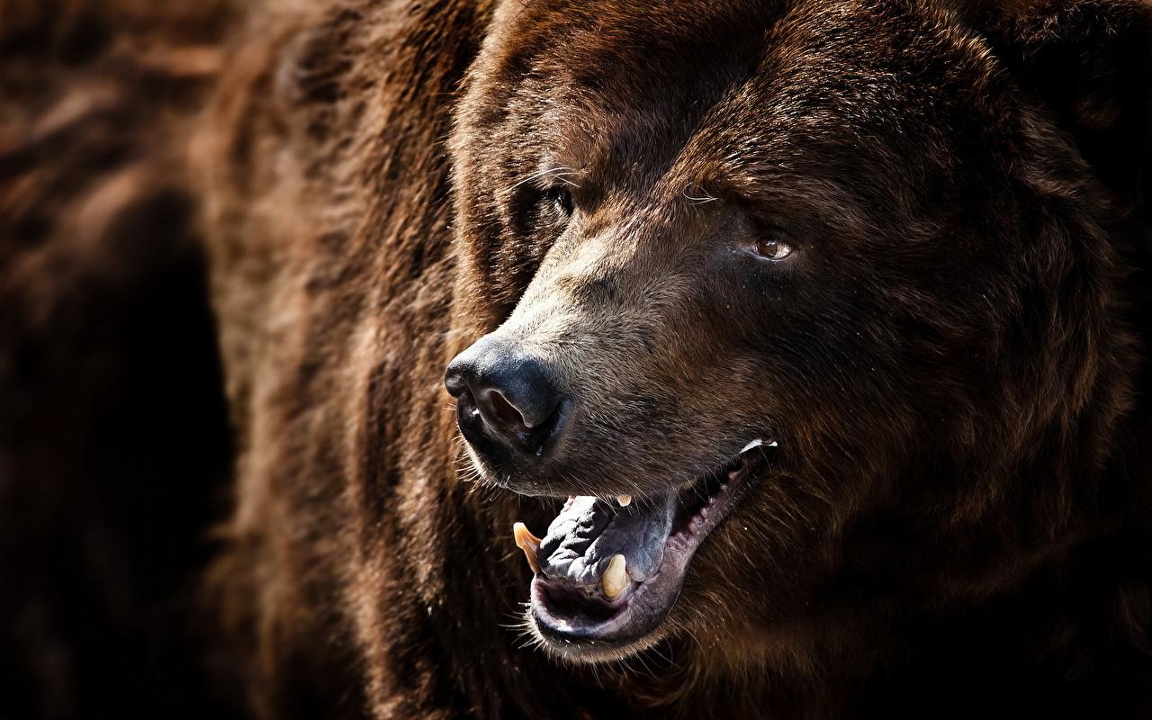 、クマ、ヒグマ、歯、動物のスナウト、動物、