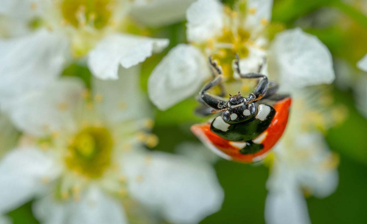 Photo Ladybugs Insects blurred background Closeup Animals Ladybird Lady beetle Coccinellidae Bokeh animal
