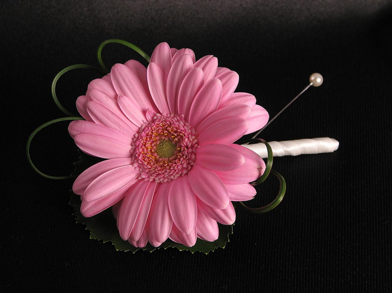 Picture Gerberas Pink color Flowers Closeup Black background