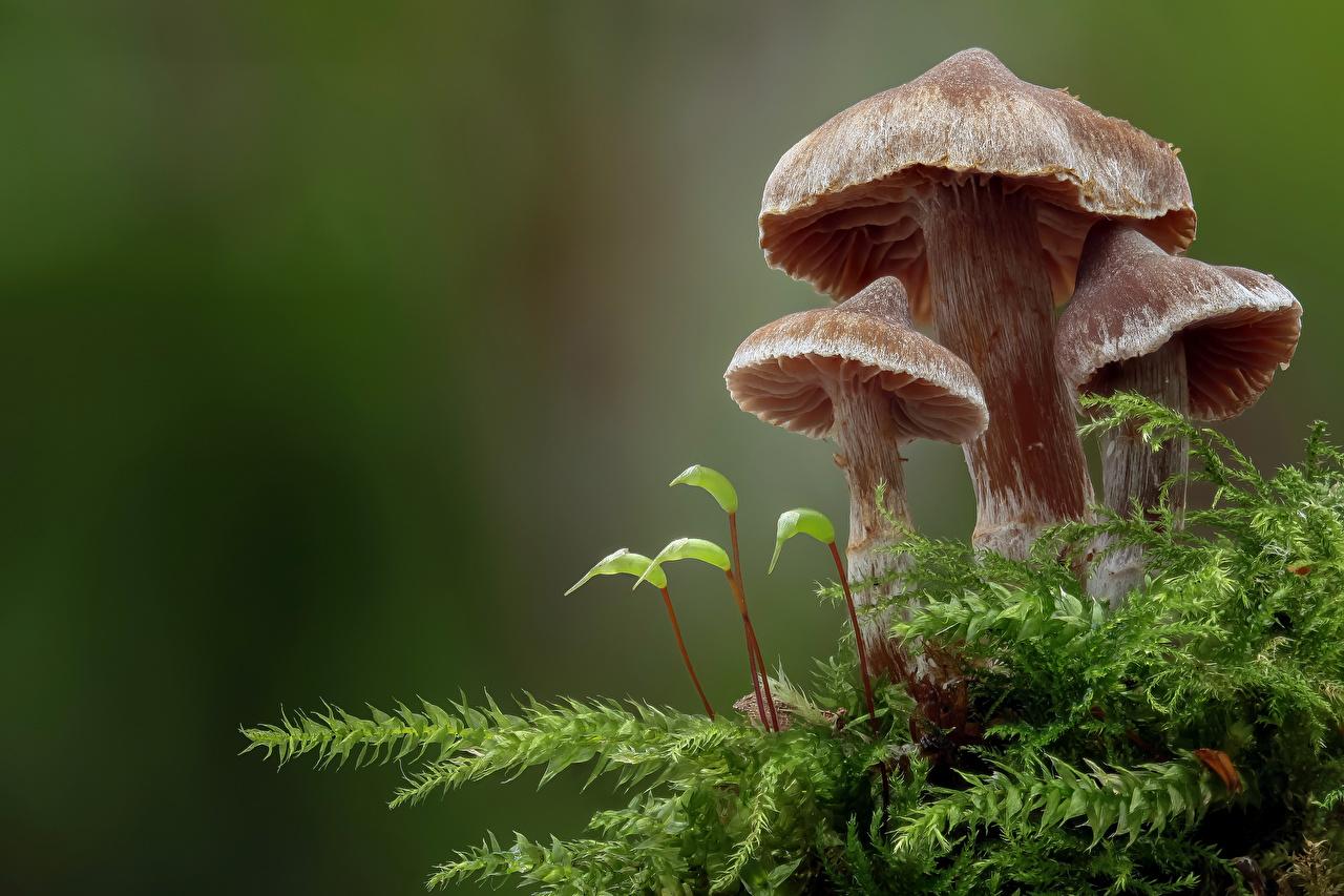 Bilder basidiomycota Natur Laubmoose Pilze Natur Großansicht hautnah Nahaufnahme