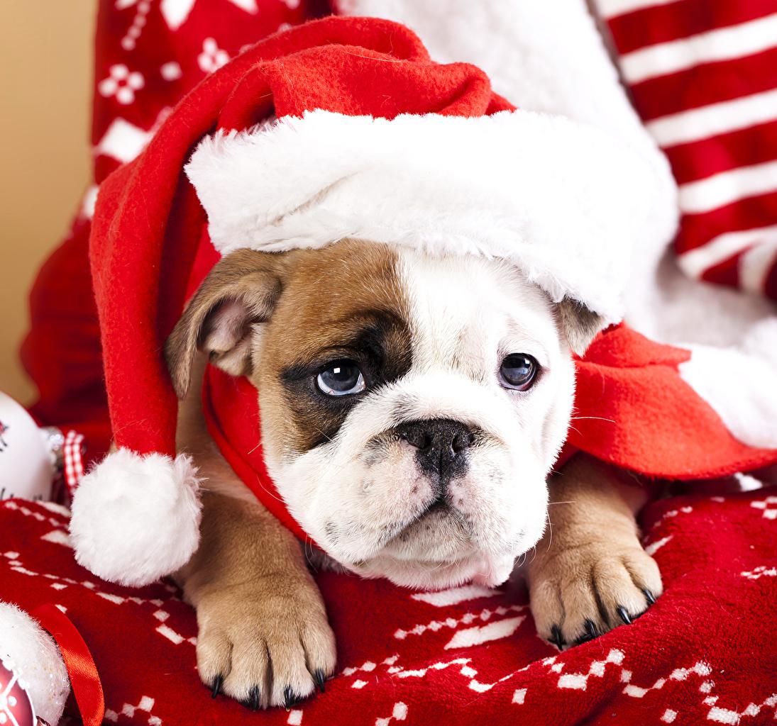 Image Bulldog Dogs Christmas Winter Hat Animal Staring