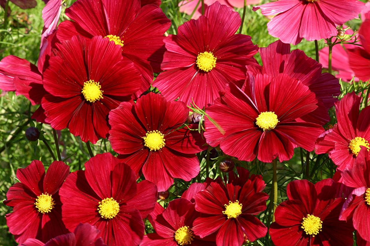 壁紙 コスモス クローズアップ Rubenza 赤 花 ダウンロード 写真