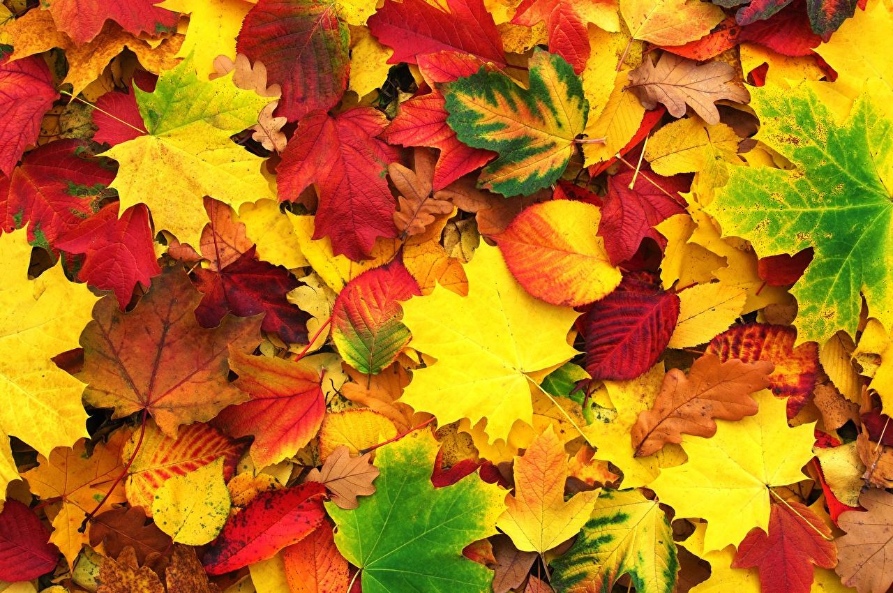 Photos Leaf Texture acer Nature Autumn Foliage Maple