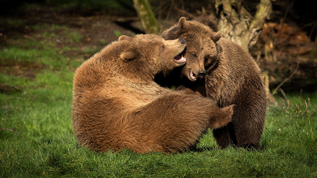 Photos bear Playing 2 Grass Animals Bears play Two animal