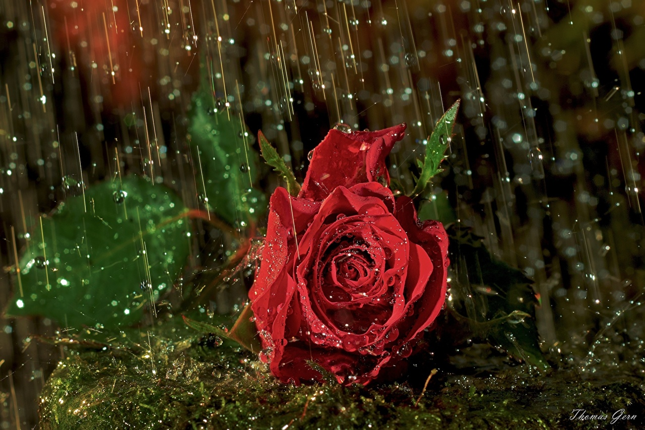 Picture Red rose Drops Flowers Wet Roses flower