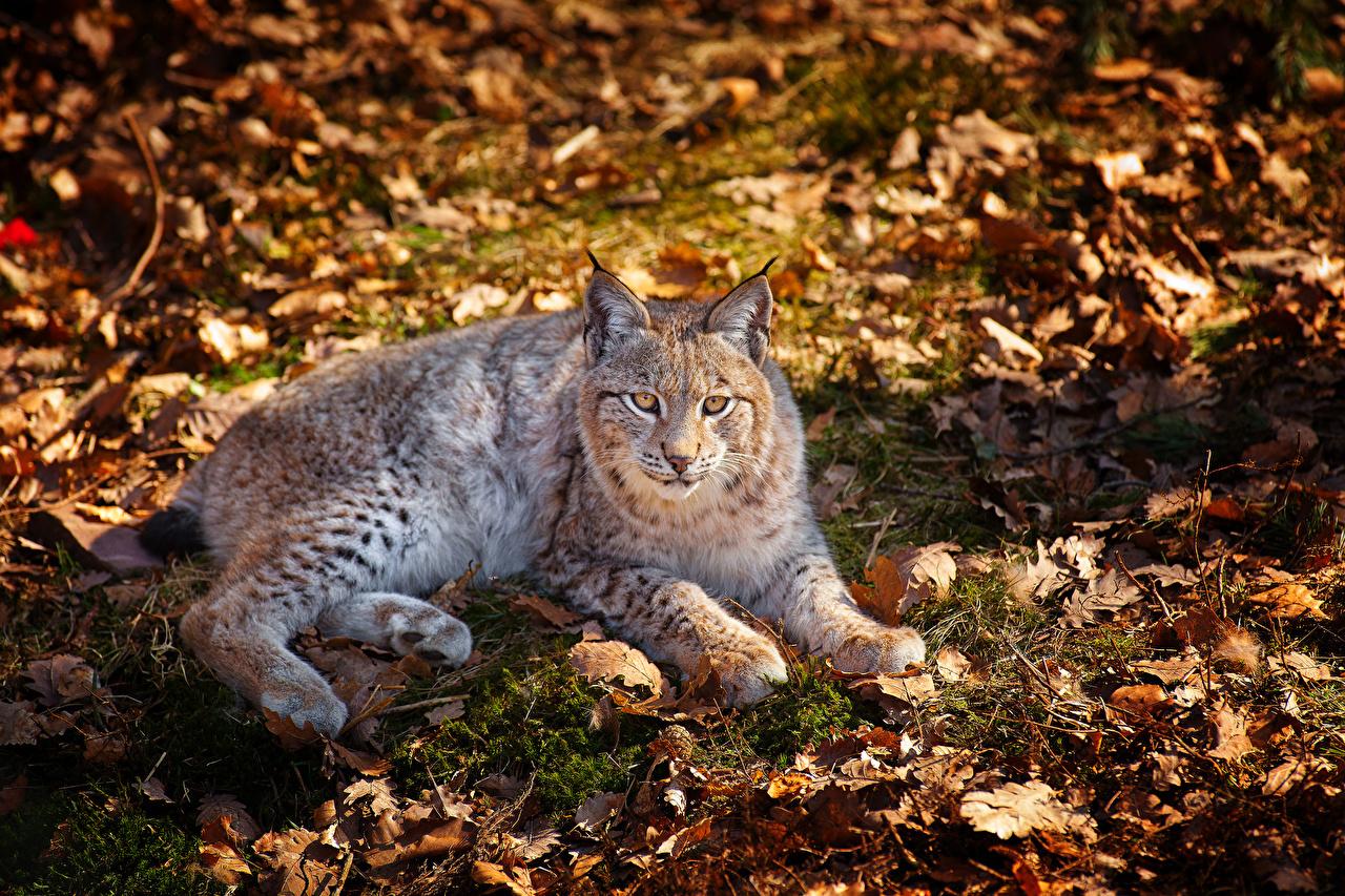 Fonds D Ecran Fauve Lynx Automne Feuillage Animaux