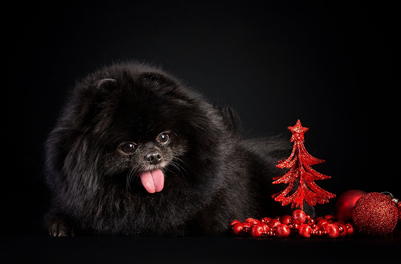 Wallpaper Spitz Dogs Black New Year Tree Animals Black Background
