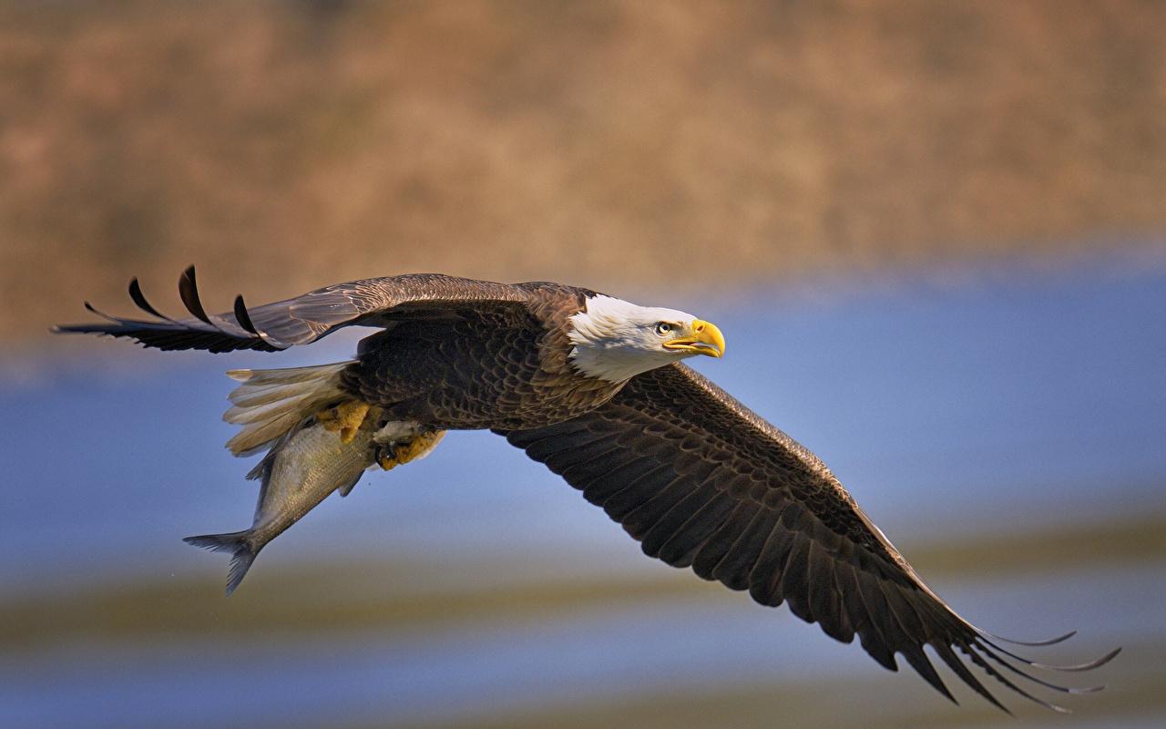 Pictures Bald Eagle Hawk Birds animal bird Animals